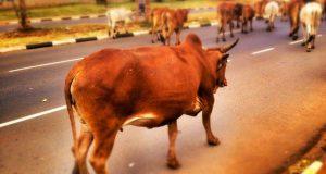 गायों की हत्या पर रोक लगाने के लिए केंद्र सरकार का बड़ा फैसला